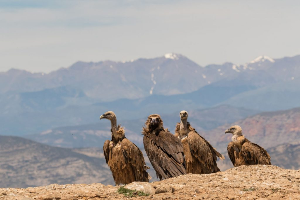 How do vultures contribute to our environment griffon cinereous