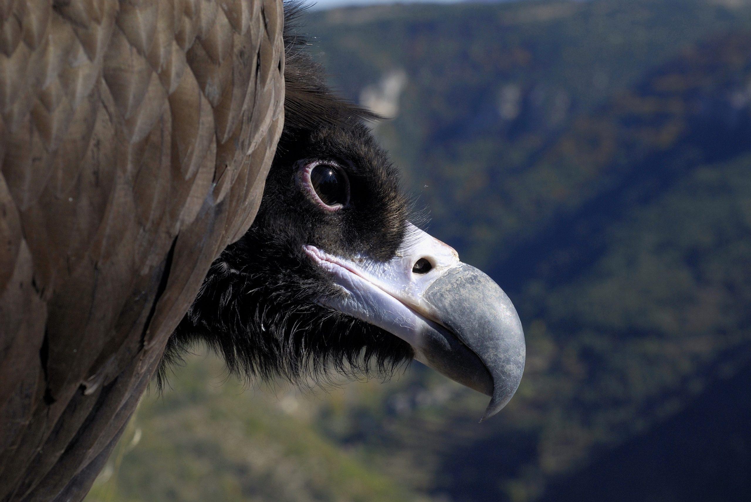 Cinereous vulture closeup