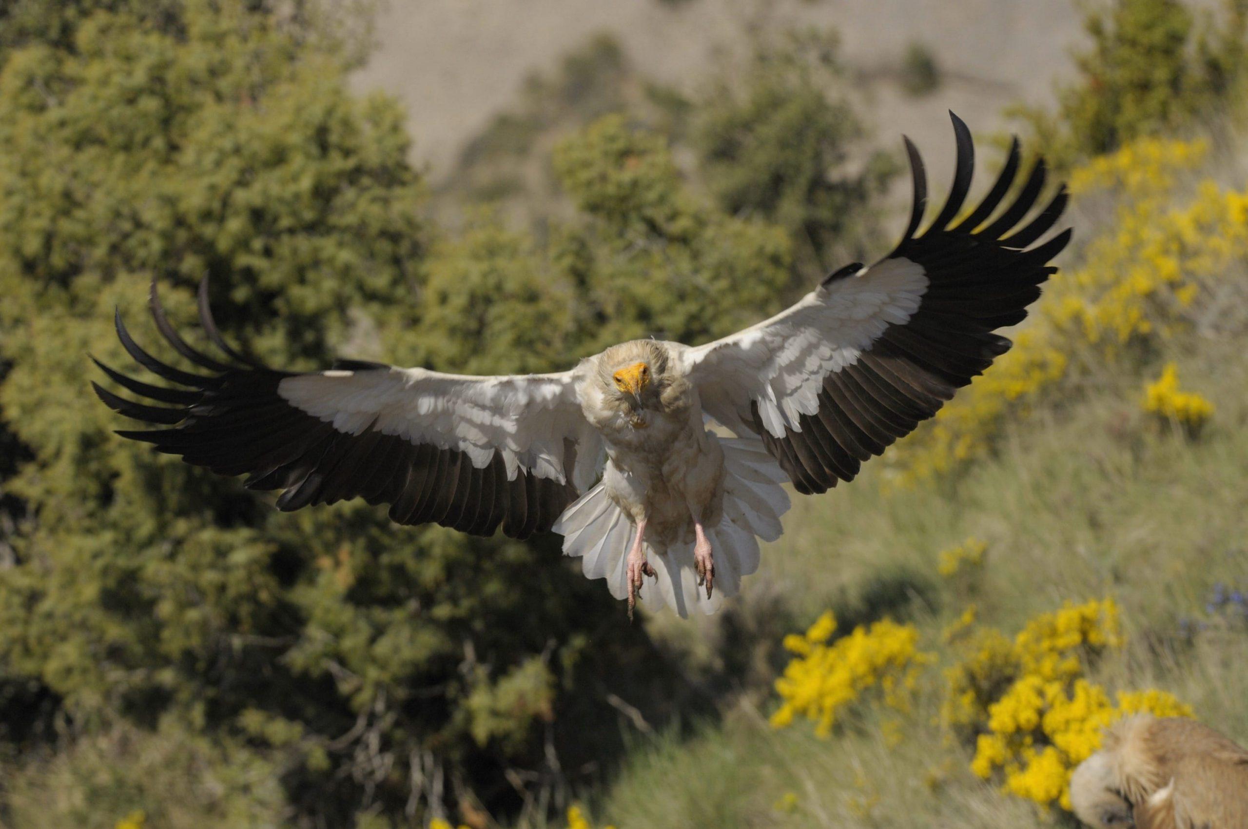 Egyptian Vulture 3