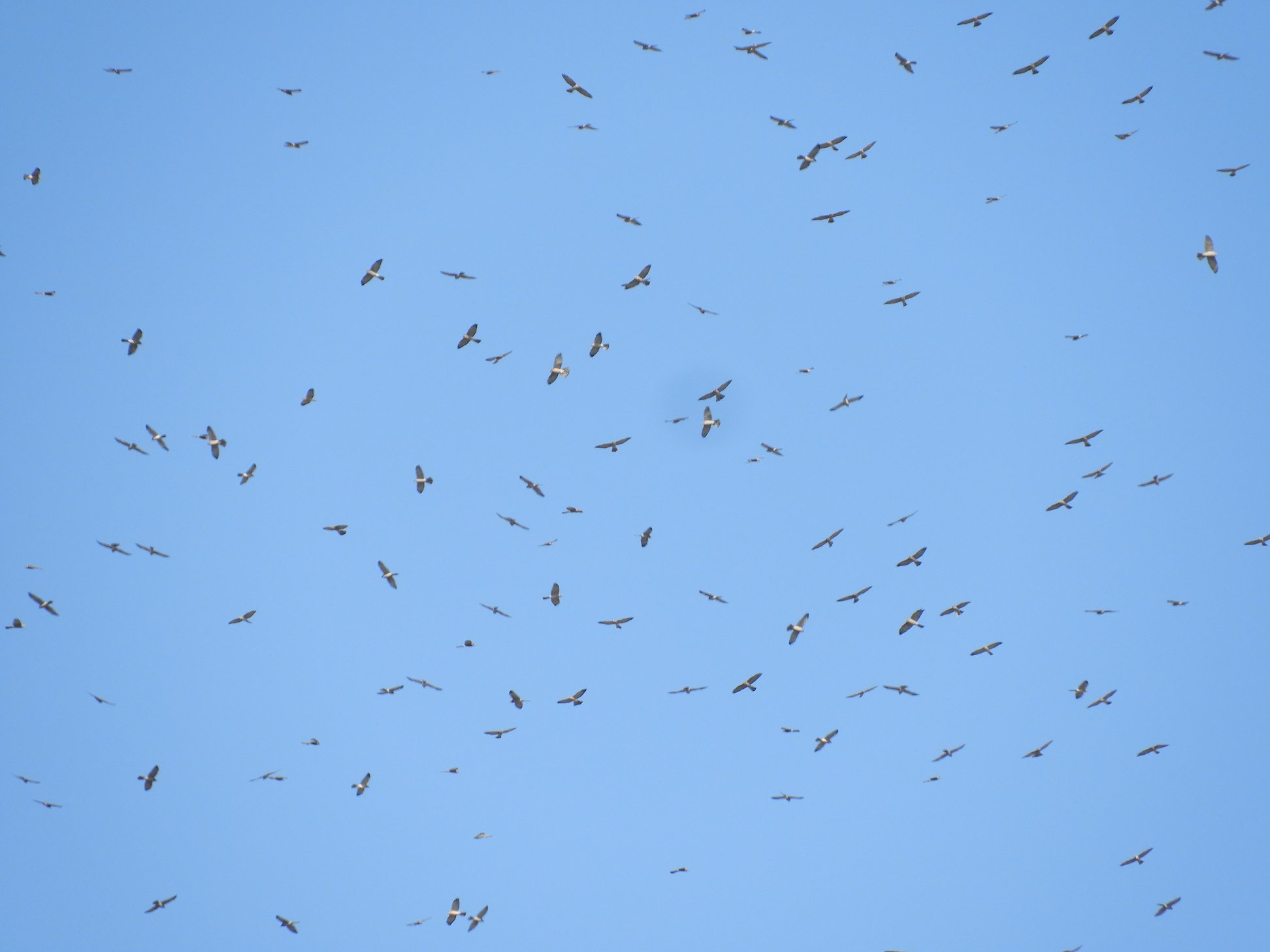 Over 800 Egyptian vultures counted in Turkey on their migration