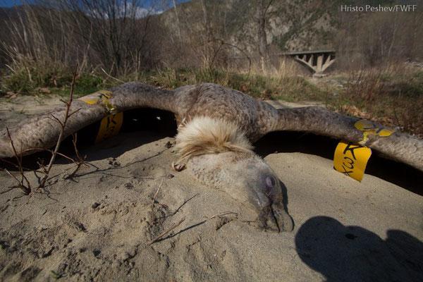 Fighting illegal wildlife poisoning in Serbia
