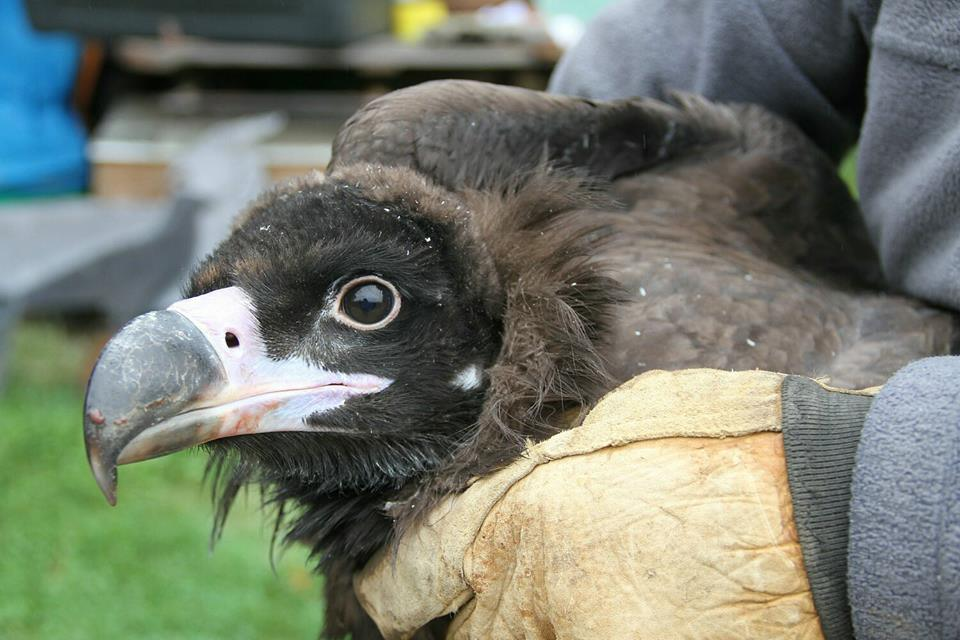 Young cinereous vulture tagged and released back into the wild in the French pre-Pyrenees