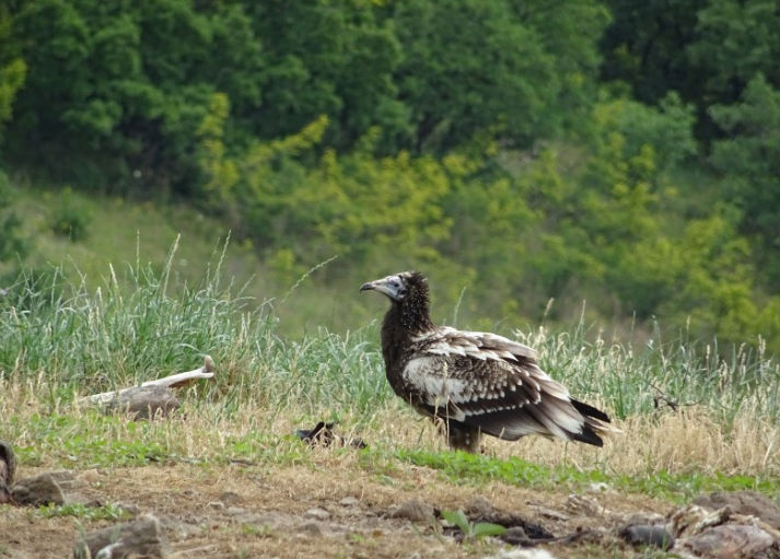 Results from the Bulgarian experiment testing release methods of captive-bred Egyptian vultures
