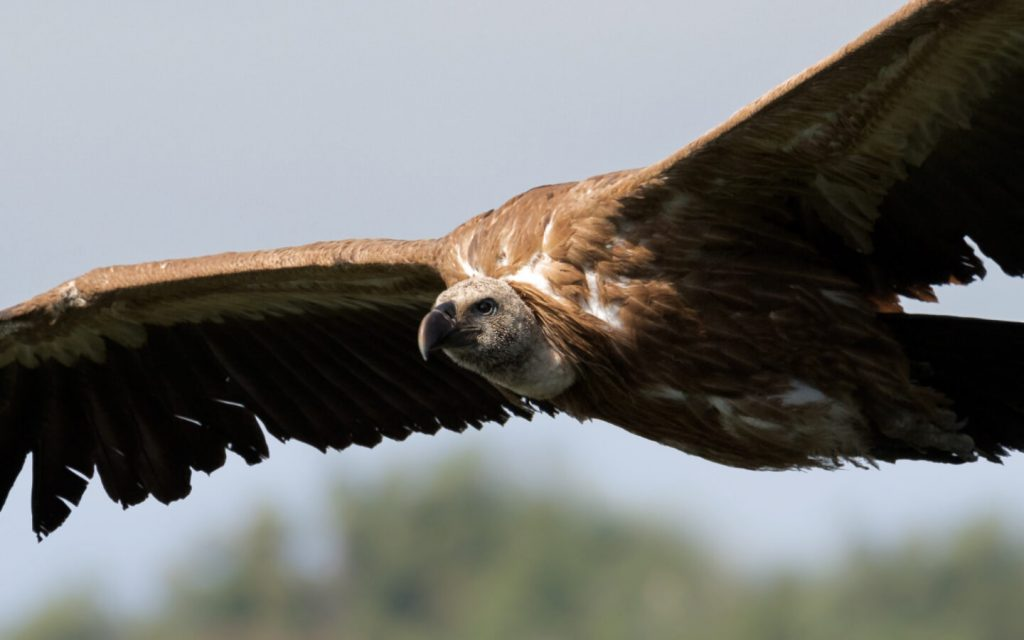 why are vultures important