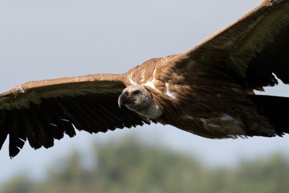Griffon-Vulture-in-flight