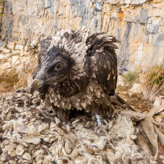 Releasing-Bearded-Vultures-in-Vercors-with-LIFE-GupConnect