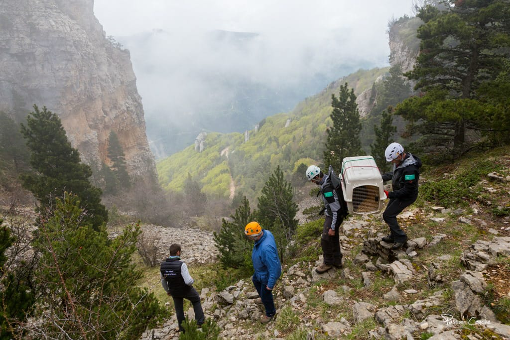 Releasing-Bearded-Vultures-in-Vercors-with-LIFE-GupConnect.jpg
