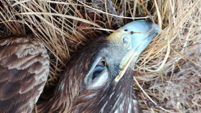 The poisoned carcass of the golden eagle in Croatia