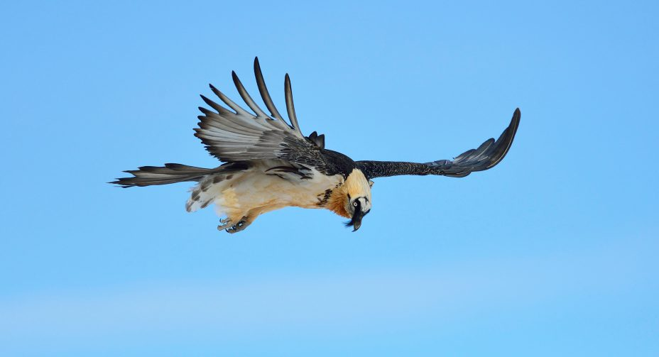 ANNUAL BEARDED VULTURE MEETING 2015