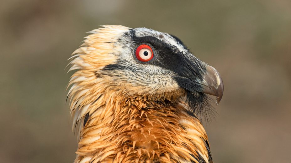 ANNUAL BEARDED VULTURE MEETING 2017