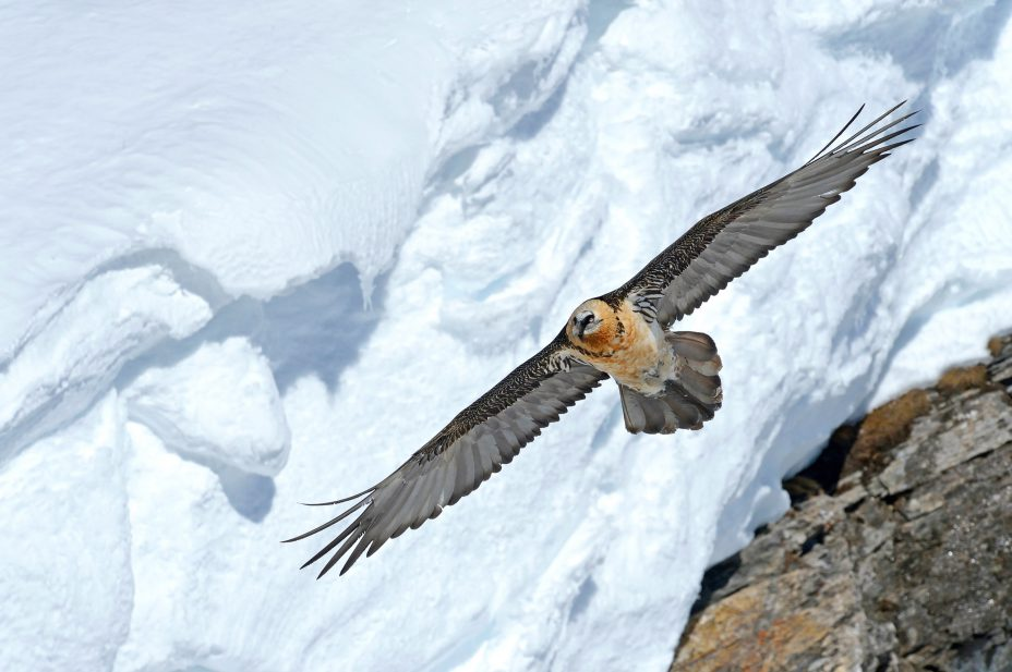 ANNUAL BEARDED VULTURE MEETING 2014