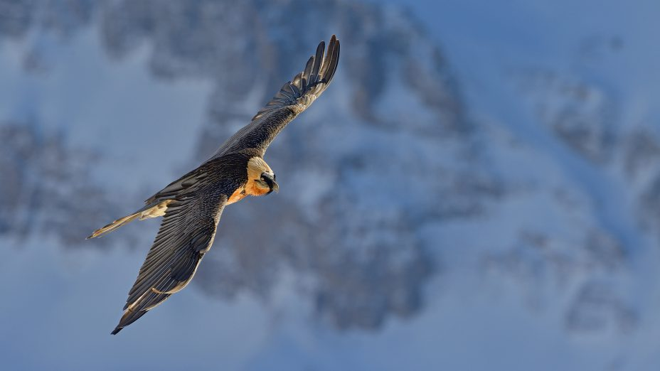 ANNUAL BEARDED VULTURE MEETING 2016
