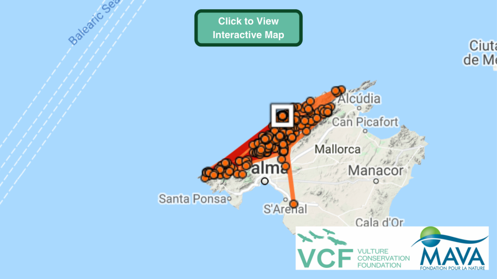 Mallorca 1 Cinereous Vulture GPS maps