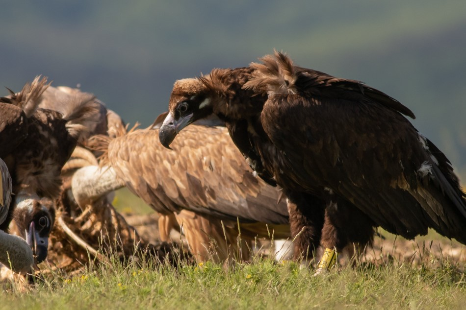 Reintroduced-Cinereous-Vultures-and-Griffon-Vultures-in-Bulgaria-©-Hristo-Peshev-FWFF