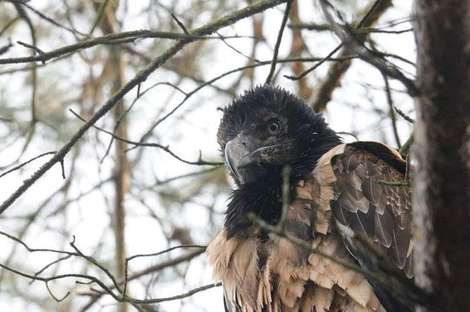 Bearded Vulture Eglazine photographed in the Netherlands