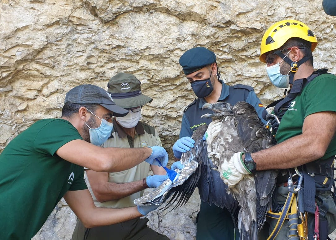 Bearded Vulture reintroduction project in Andalusia