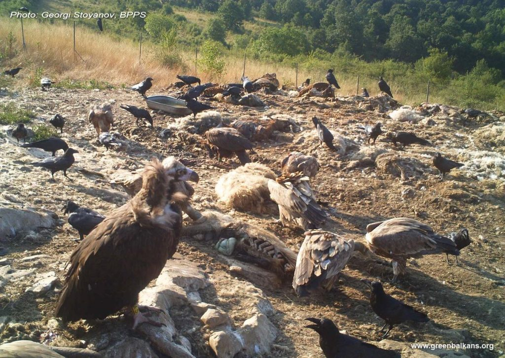 Cinereous Vultures Vrachanski Balkan Bulgaria