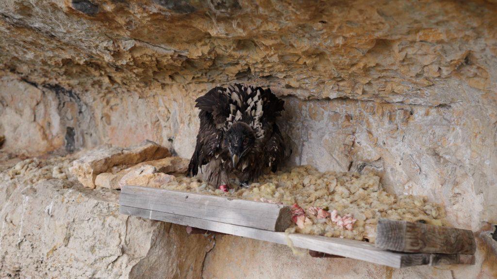 Gypaète bearded vulture reintroduction pradines
