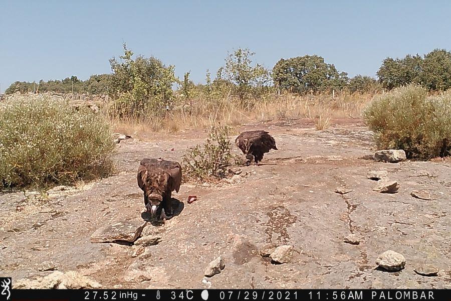 cinereous vulture douro