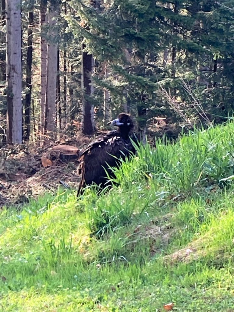 weak cinereous vulture switzerland