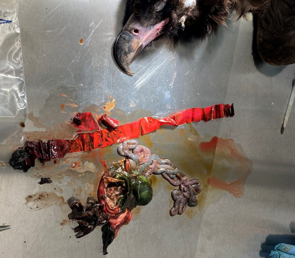 Cinereous Vulture died from plastic ingestion overdose