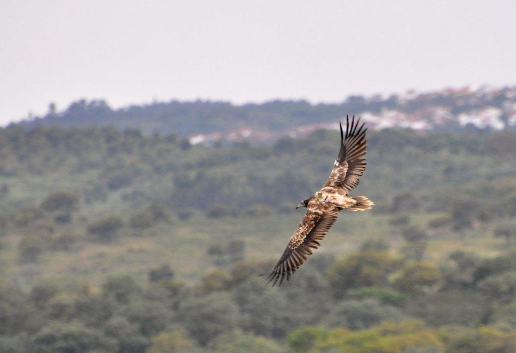 Egyptian Vulture migration Alvor