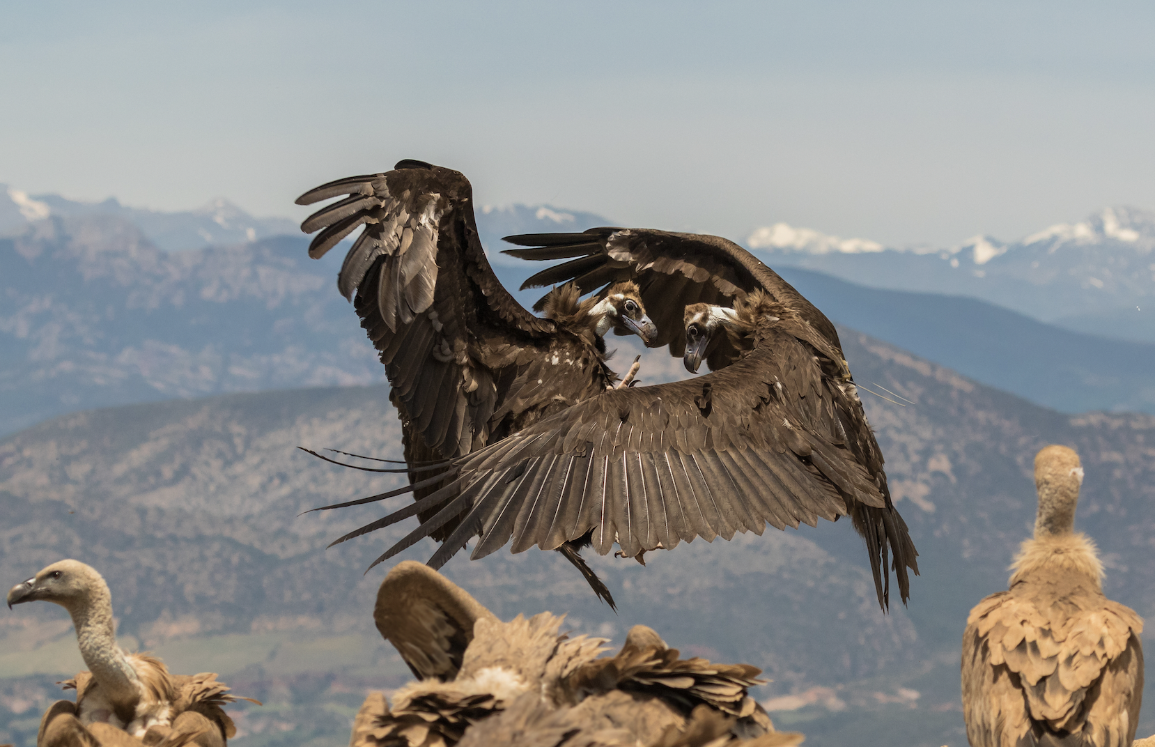 Fascinating vulture facts
