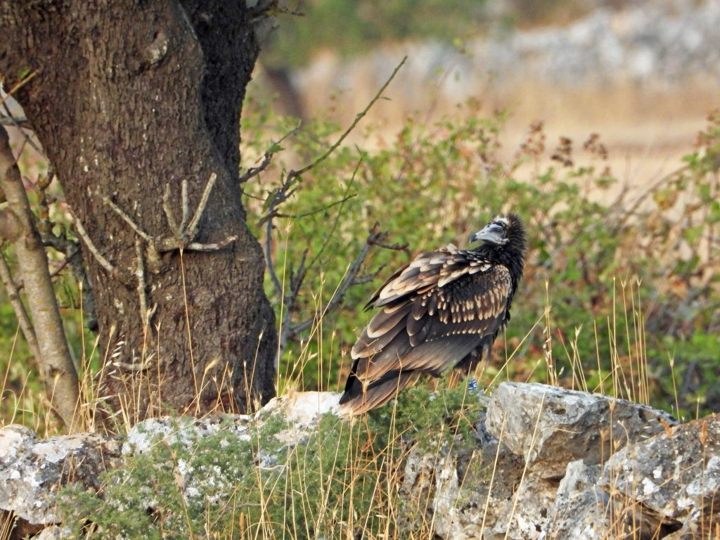 egyptian vulture italy