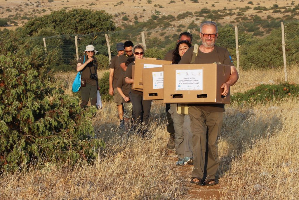 Transfer of the egyptian vultures to the release box
