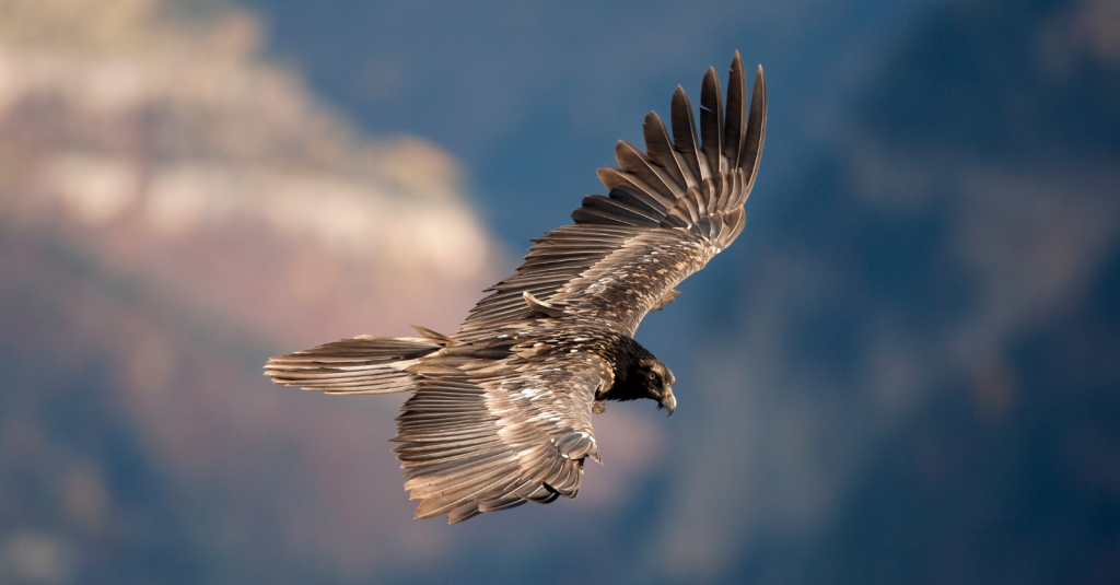 Young Bearded Vulture in flight