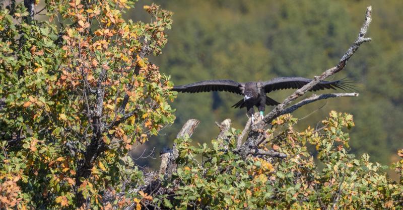 Cinereous Vulture fledges in Bulgaria