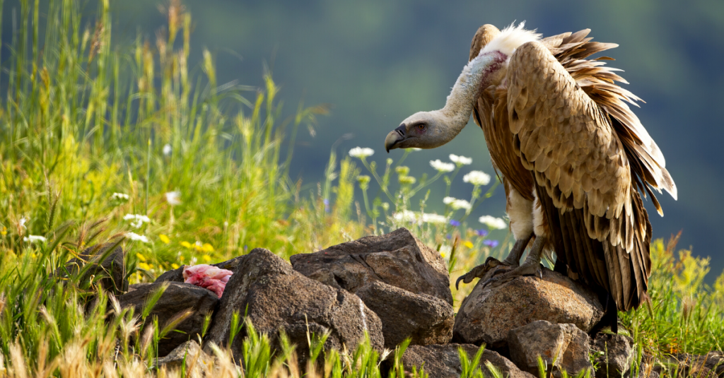 griffon vulture eating rhodopes