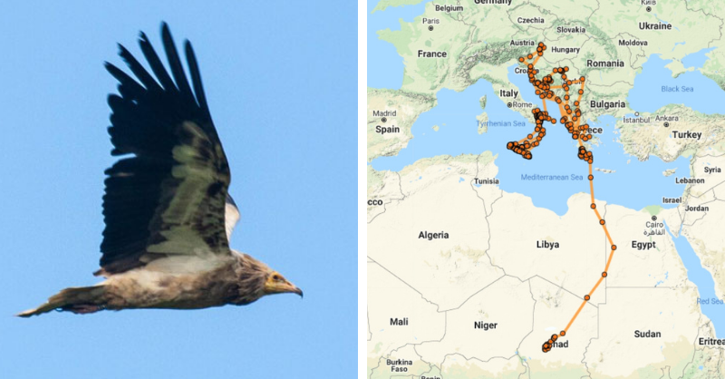 Egyptian Vulture Diego