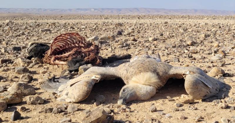 mass poisoning griffon vultures israel